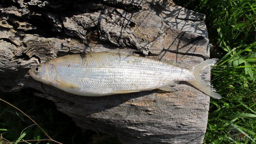 Пелядь, пойманная в реке Чулышман на Алтае