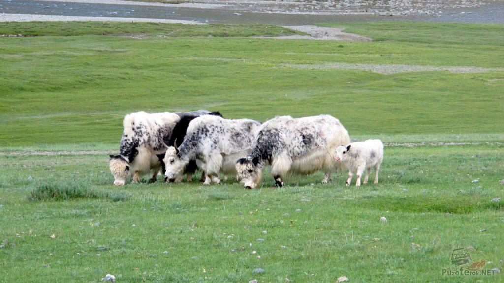 Яки на плато Укок