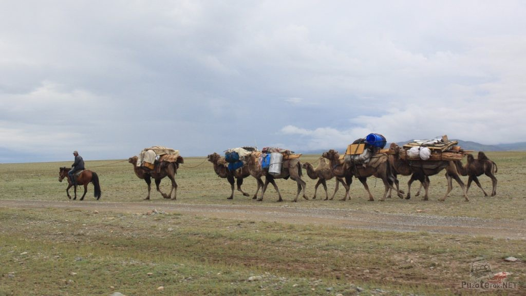 Караван верблюдов в Монголии