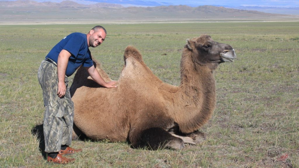 Фото с верблюдом в Монголии