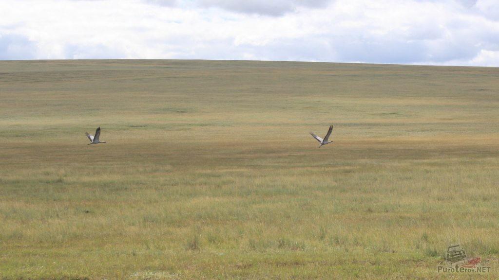Журавли в Монголии