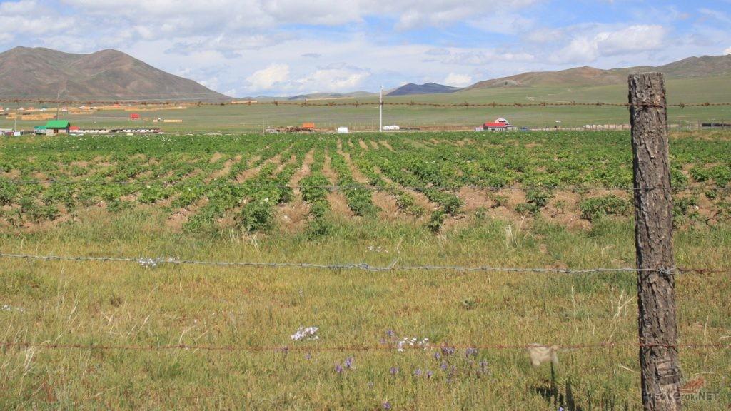 В Монголии тоже выращивают картофель