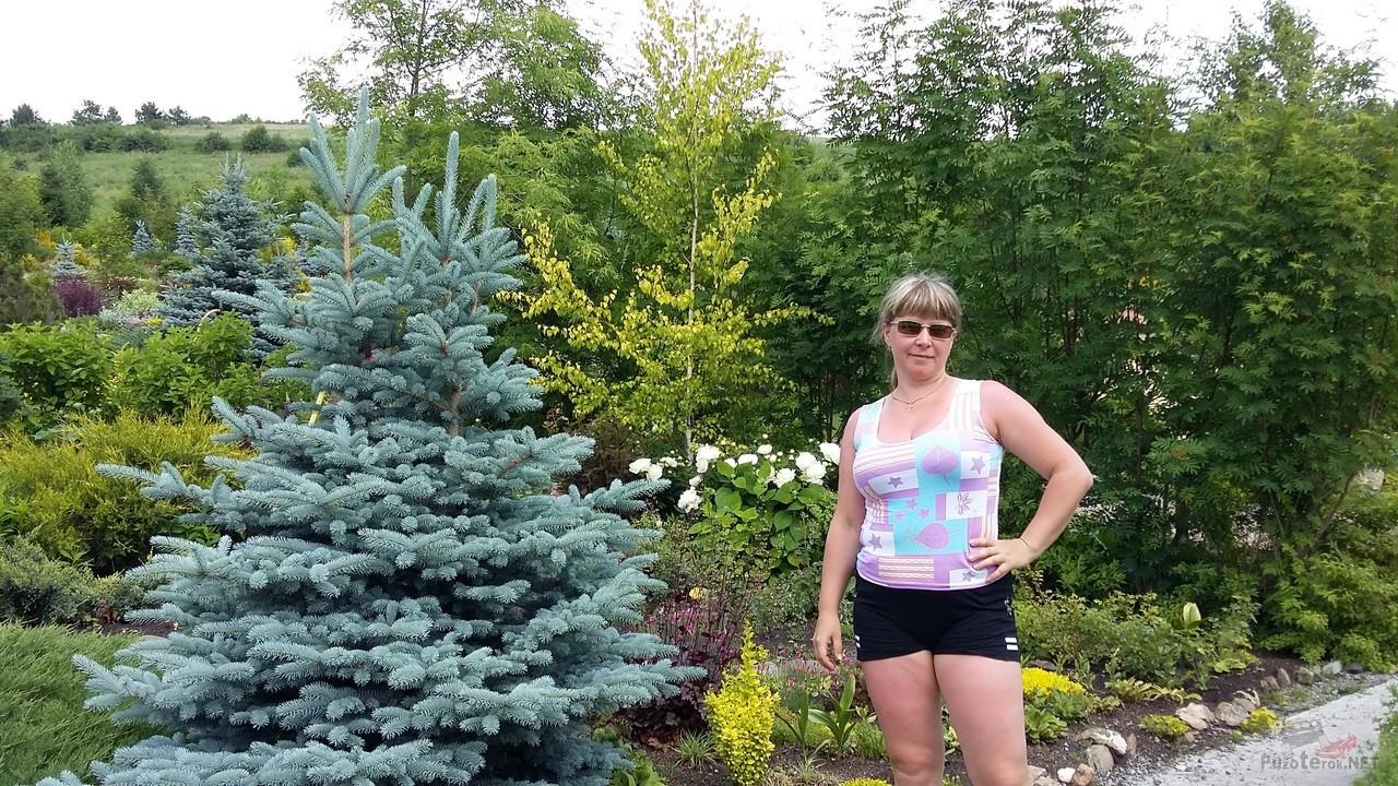 Голубая ель в питомнике