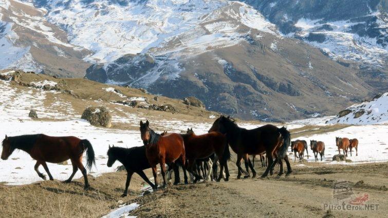 Табун лошадей в Балкарии