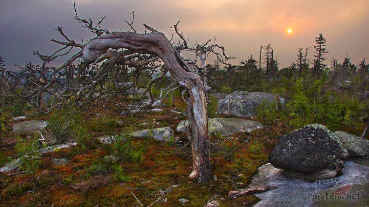 Корявое дерево на мистической горе в Карелии
