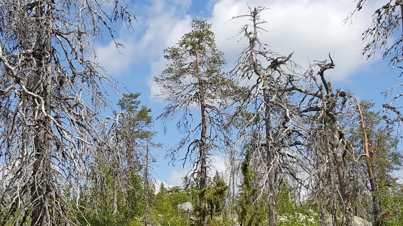 Погибшие деревья на Смерть-горе
