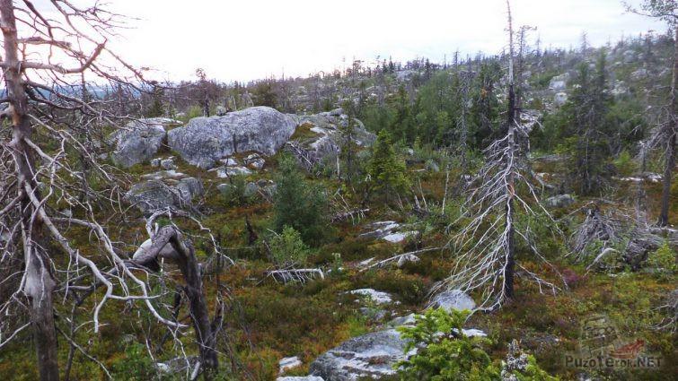 Засохшие деревья в Карелии