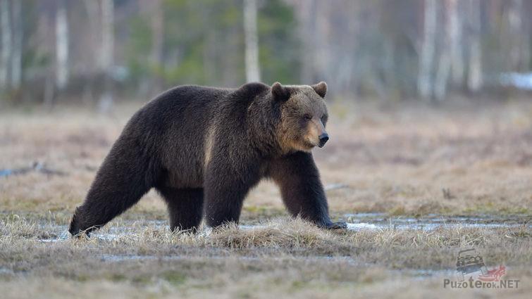 Бурый медведь в осеннем заповеднике