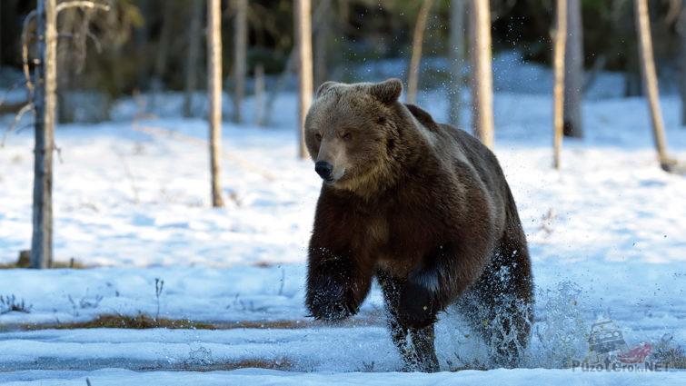 Энергичный бурый медведь ранней весной