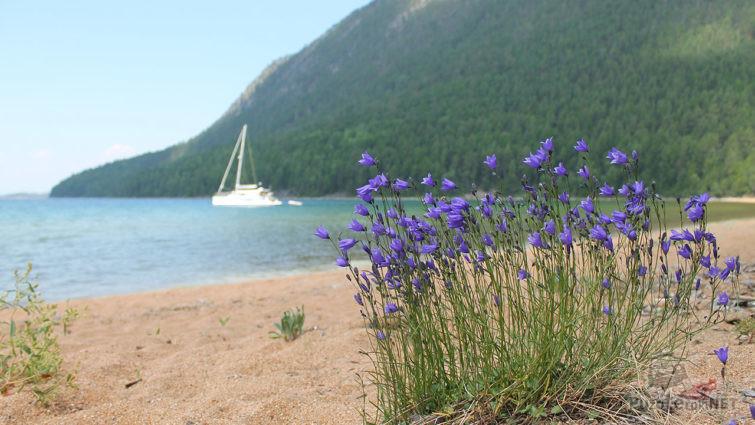 Колокольчики на берегу Байкала