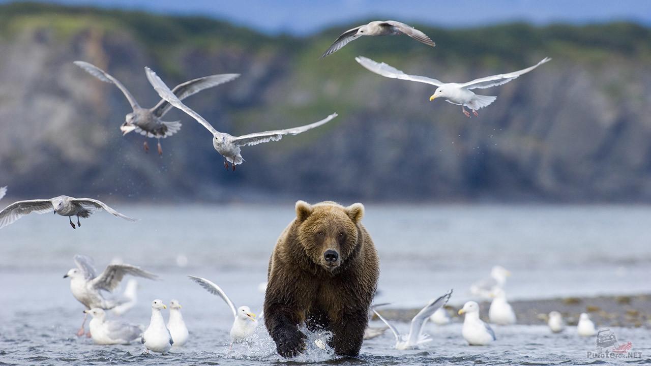 Медведь и чайки на берегу Байкала
