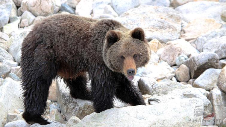 Медведь среди камней