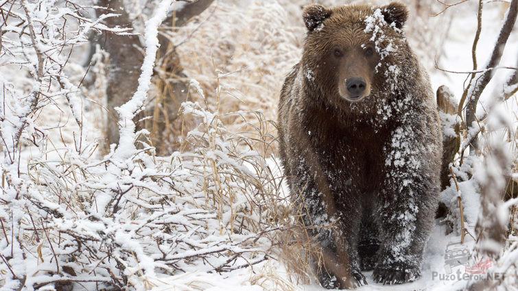 Медведь в сугробах первого снега
