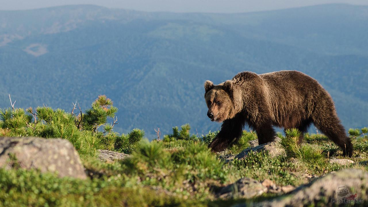 Обитатель высокогорного заповедника — Королевства медведей