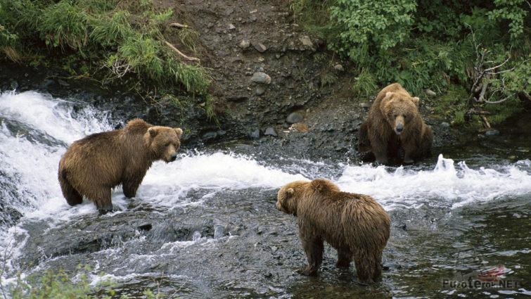 Обитатели Королевства медведей на рыбалке