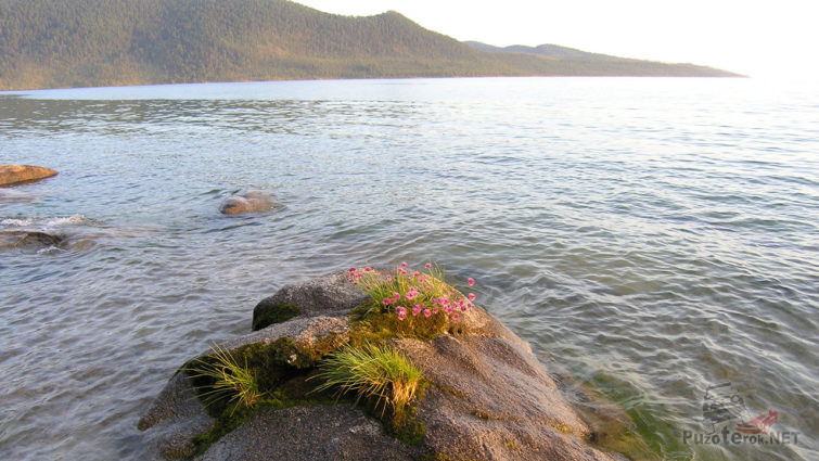 Цветы на камне у берега Байкала
