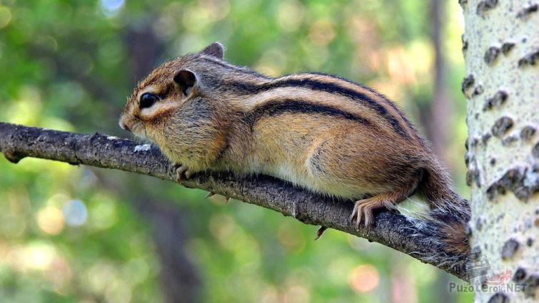 Упитанный бурундук на ветке дерева
