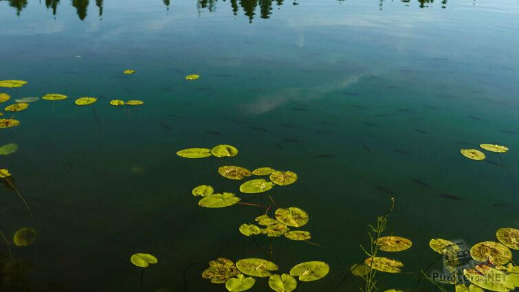 Кувшинки на поверхности озера