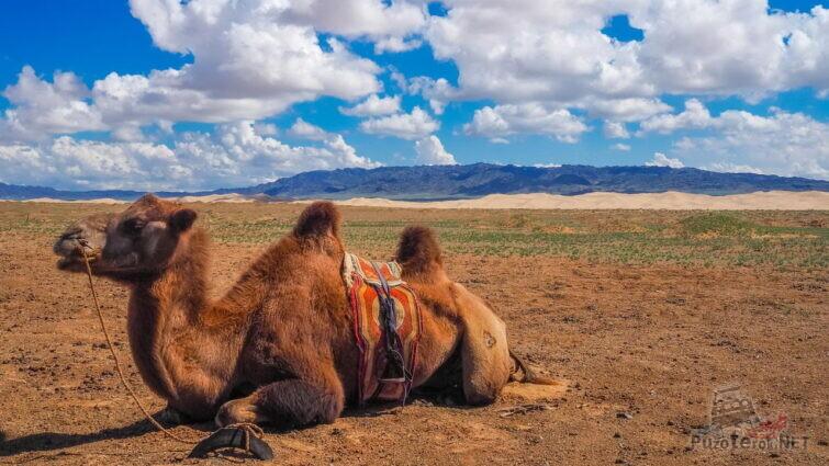 Верблюд в монгольской степи