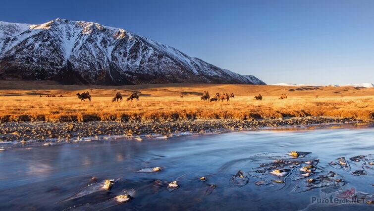 Верблюды на берегу реки на фоне гор