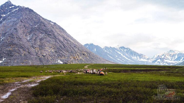 Зыряне и стадо северных оленей